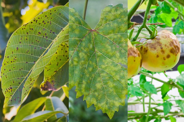 9 Different Types of Plant Fungal Diseases