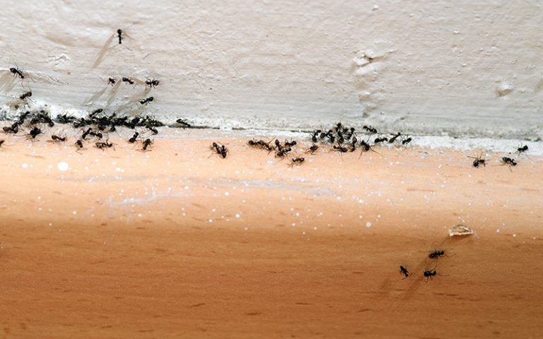 How to Get Rid of Ants in Bedroom