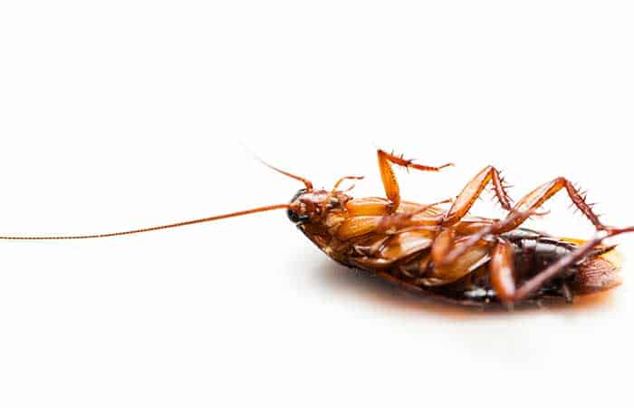 How Long Can Cockroaches Live Without Food?