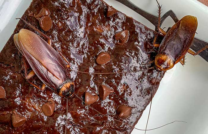 Are There Cockroaches in Chocolate?